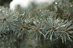 Καλυμμένος, χιονώδης, ξύλινος, κομψός, πτώσεις, μακροεντολή, πράσινος, ακανθωτή, βελόνα, αειθαλής, μπλε, έλατο, κωνοφόρο, πάγος,  Στοκ εικόνα με δικαίωμα ελεύθερης χρήσης