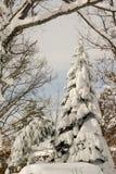καλυμμένο αειθαλές χιόνι Στοκ Εικόνες