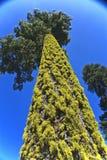 καλυμμένο δέντρο λειχήνων Στοκ εικόνες με δικαίωμα ελεύθερης χρήσης