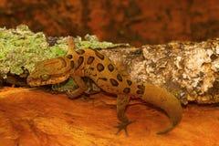 Καλυμμένο επίγειο gecko, nebulosus Cyrtodactylus chhattisgarh, Ινδία Στοκ Εικόνες