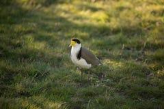 Καλυμμένο πουλί αργυροπουλιών Στοκ Εικόνα
