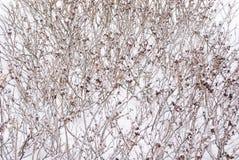 καλυμμένο χιόνι θάμνων Στοκ εικόνες με δικαίωμα ελεύθερης χρήσης