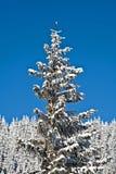 καλυμμένο χιόνι πεύκων Στοκ Φωτογραφίες