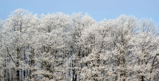 καλυμμένο treeline παγετού Στοκ εικόνα με δικαίωμα ελεύθερης χρήσης