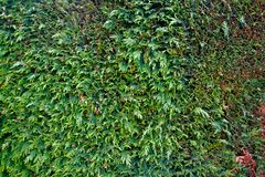 Καλός πράσινος φράκτης του τακτοποιημένου βιόκοσμου thuja στοκ εικόνες