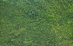 Καλός πράσινος φράκτης του τακτοποιημένου βιόκοσμου thuja στοκ φωτογραφία με δικαίωμα ελεύθερης χρήσης
