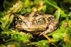 Καλός πράσινος eyed φρύνος Ή είναι πρίγκηπας; στοκ φωτογραφία με δικαίωμα ελεύθερης χρήσης