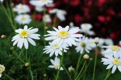 Καλό άσπρο λουλούδι μαργαριτών στο μικρό κήπο με το κόκκινο λουλούδι ως υπόβαθρο Στοκ Εικόνα