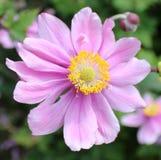 Καλό ανοικτό μωβ λουλούδι Anemone Hupehensis Japonica Στοκ φωτογραφίες με δικαίωμα ελεύθερης χρήσης