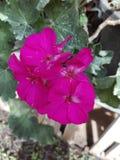 Καλό λουλούδι για τη Σρι Λάνκα στοκ εικόνες