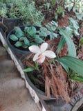 Καλό λουλούδι orkid για τη Σρι Λάνκα στοκ φωτογραφία με δικαίωμα ελεύθερης χρήσης