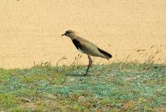 Καλό πουλί που στέκεται στη χλόη Όμορφα υπόβαθρα φύσης Στοκ φωτογραφία με δικαίωμα ελεύθερης χρήσης