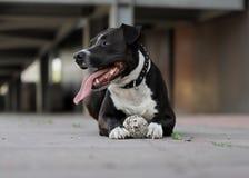 Καλό σκυλί, αμερικανικό τεριέ Staffordshire στοκ φωτογραφίες