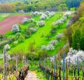 Καλό τοπίο με τις αμπέλους και τα ανθίζοντας δέντρα κερασιών στη νότια Γερμανία Στοκ Εικόνα