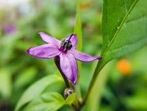 Καλό φυτικό καψικό frutescens Λ Στοκ Εικόνες