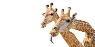 καλό giraffe κεφάλι που απομονώνεται στο λευκό Στοκ εικόνες με δικαίωμα ελεύθερης χρήσης