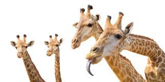 καλό giraffe κεφάλι που απομονώνεται στο λευκό Στοκ φωτογραφίες με δικαίωμα ελεύθερης χρήσης