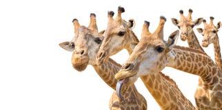 καλό giraffe κεφάλι που απομονώνεται στο λευκό Στοκ Εικόνες