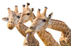 καλό giraffe κεφάλι που απομονώνεται στο λευκό Στοκ Φωτογραφία