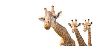 καλό giraffe κεφάλι που απομονώνεται στο λευκό Στοκ φωτογραφία με δικαίωμα ελεύθερης χρήσης