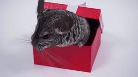 Καλύτερο δώρο - τσιντσιλά σε ένα κόκκινο κιβώτιο απόθεμα βίντεο