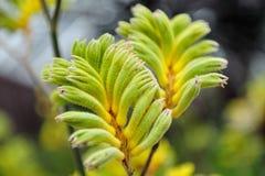 καλύψτε τα πόδια καγκουρό λουλουδιών δια θόλου Στοκ φωτογραφία με δικαίωμα ελεύθερης χρήσης
