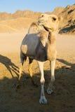 καμήλα αστεία στοκ εικόνα με δικαίωμα ελεύθερης χρήσης