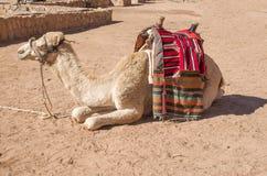 Καμήλα για έναν περίπατο με την περίκομψη σέλα στη Petra, Ιορδανία στοκ φωτογραφία με δικαίωμα ελεύθερης χρήσης