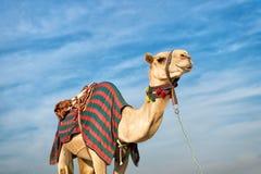Καμήλα ενάντια στο μπλε ουρανό Στοκ Εικόνα