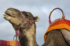 Καμήλα και ζωηρόχρωμη σέλα στα περίχωρα του Μαρακές στο Μαρόκο στοκ εικόνα