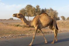 Καμήλα που διασχίζει: Beware των χαλαρών καμηλών κοντά στη διαδρομή φυλών καμηλών δεδομένου ότι τρέξιμο με τα κοντινά αυτοκίνητα  στοκ φωτογραφία με δικαίωμα ελεύθερης χρήσης