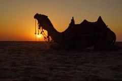 Καμήλα που προσέχει το ηλιοβασίλεμα Στοκ φωτογραφία με δικαίωμα ελεύθερης χρήσης