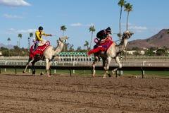 Καμήλα που συναγωνίζεται στο Phoenix, Αριζόνα Στοκ Φωτογραφίες
