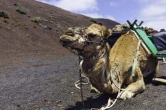 Καμήλα σε Timanfaya Στοκ Φωτογραφίες