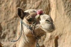 Καμήλα στην Αίγυπτο Στοκ Φωτογραφίες
