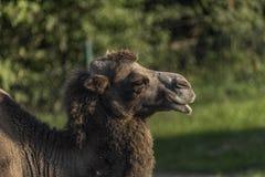 Καμήλα στην πράσινη χλόη στη θέση άμμου Στοκ Εικόνα