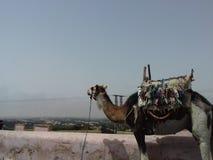 Καμήλα στο βουνό στοκ εικόνα