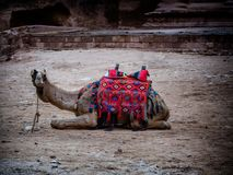 Καμήλα χαμένη στην η Petra πόλη, Στοκ φωτογραφία με δικαίωμα ελεύθερης χρήσης