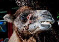 Καμήλα χαμόγελου Στοκ Εικόνες