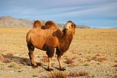 καμήλα Στοκ Εικόνες