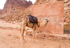 Καμήλα Στοκ Φωτογραφία