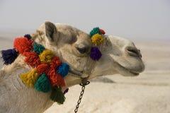 καμήλα Στοκ Φωτογραφίες