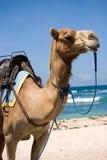 καμήλα Στοκ φωτογραφία με δικαίωμα ελεύθερης χρήσης