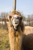 καμήλα Στοκ εικόνες με δικαίωμα ελεύθερης χρήσης