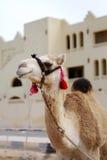 καμήλα Στοκ εικόνα με δικαίωμα ελεύθερης χρήσης