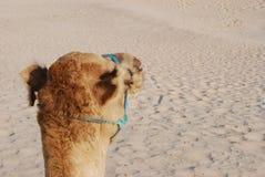 καμήλα desersts Στοκ Εικόνα