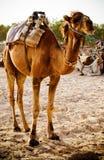 καμήλα dromedary Στοκ Εικόνες