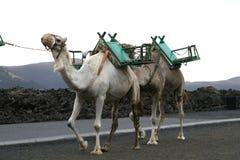 καμήλες δύο Στοκ εικόνες με δικαίωμα ελεύθερης χρήσης