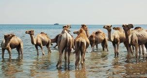 Καμήλες που διασχίζουν έναν ποταμό στην έρημο σε Dahab φιλμ μικρού μήκους