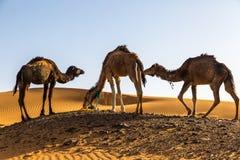 καμήλες Σαχάρα Στοκ φωτογραφία με δικαίωμα ελεύθερης χρήσης